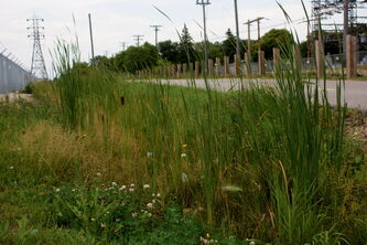 Wildflowers grow in among other vegetation along the Transcona Trail near Day Street.