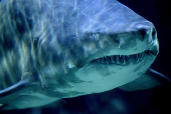 A Sand Tiger Shark swims in its aquarium at the Zoo-Aquarium in Berlin, Germany. (AP Photo/Michael Sohn)