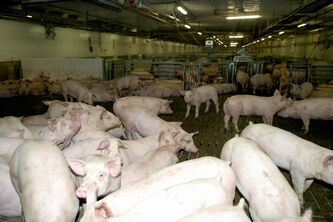 Manitoba pork producers may be negatively affected by Russia's decision to ban the importation of meat products from Canada.