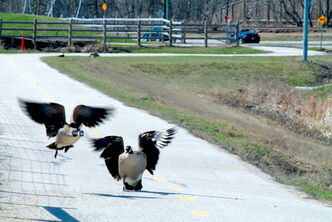 These two geese, very much alive, were rambling safely along a pedestrian path next to Sterling Lyon Parkway last week.