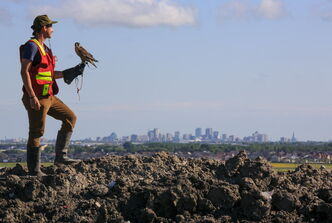 Bird control officer Jordan Janisse carries falcon Spitfire at the Brady Landfill.