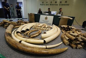 Elephant tusks are displayed after being confiscated by Hong Kong Customs in Hong Kong Thursday, Oct. 3, 2013. THE CANADIAN PRESS/AP, Kin Cheung
