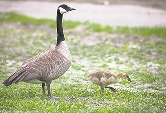 A Canada Goose and a gosling wander down the Assiniboine river walk (GREG GALLINGER / WINNIPEG FREE PRESS 2014)