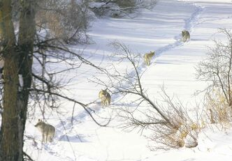 Natalija Zmavc and her husband saw these four coyotes in Southdale Sunday.