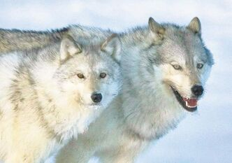Wolves are seen as magnets for researchers and tourists to the Thompson area, which is hosting the meeting.