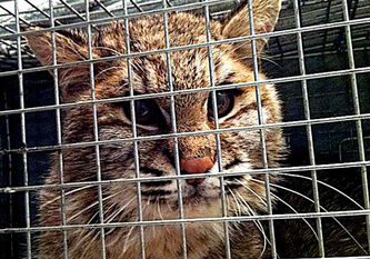 A female bobcat, believed to be less than a year old, is undergoing surgery today in hopes of saving its broken rear leg.