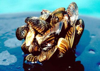 Zebra mussel larvae, known as veligers, were found in samples taken from the southeast and eastern portion of the South Basin, including east of where the Red River enters the lake, offshore from Grand Marais and in Traverse Bay.