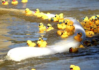 Efforts are underway to collect the rubber ducks that managed to get elude capture following the Great Manitoba Duck Race.