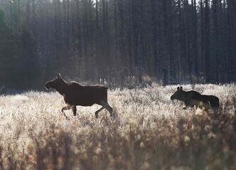 A cow moose and her calf as seen on trip with Dr. Vince Crichton- Certified Wildlife Biologist in Riding Mountain National Park    (JOE BRYKSA / WINNIPEG FREE PRESS)