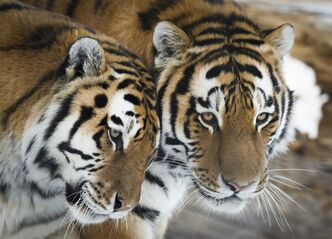 Amur tigers brush up against one another at the Calgary Zoo in Calgary, Alta., Thursday, Nov. 28, 2013. The zoo fully re-opened Thursday after being closed due to severe flooding last June.THE CANADIAN PRESS/Jeff McIntosh