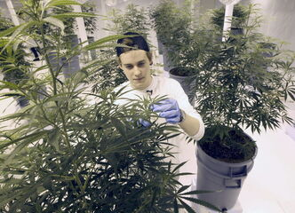 John Arbuthnot, vice president at  Delta 9 Bio-Tech, tends to plants inside Winnipeg's first-ever legal marijuana production plant.