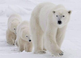 A polar bear mother and her two cubs walk along the shore of Hudson Bay near Churchill, Man., Nov. 7, 2007. Russian officials are becoming increasingly concerned about polar bear poachers in their country using Canadian documents to disguise illegally hunted pelts. THE CANADIAN PRESS/Jonathan Hayward