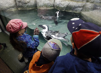 Siobhan Stewart, 5 , Owen Boychuk, 4, and Titus Stewart, 10, watch the African black-footed penguins who made their debut at the HUB Horizon Insurance Penguin Cove at the Assiniboine Park Zoo this morning.