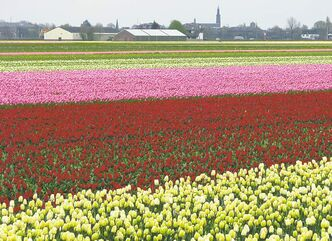 Take a breathtaking, scenic drive through the Dutch countryside in spring. The Tulip Fields tour features more than seven million tulips, daffodils and hyacinths in bloom.