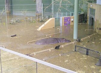 Six-and-a-half-year-old hippo Lobi explores the African Savannah building during the flooding on Sunday.