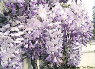 Growing wisteria in Winnipeg? This hardy variety will be for sale at the Mother's Day Plant Sale.