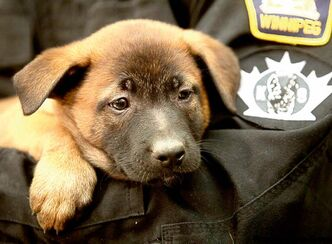 This Belgian Malinois puppy was born in 2011 and is part of the WPS K-9 breeding program that started in 1999. The WPS is the only municipal police agency in Canada that runs its own in-house program.