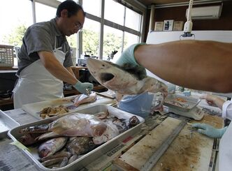 Laboratory workers at Fukushima Prefecture Fisheries Research Center dissect fish caught earlier in the day by local fishermen, before conducting radiation tests in Iwaki, about 40 kilometers (25 miles) south of the tsunami-crippled Fukushima Dai-ichi nuclear power plant, Monday, Aug. 26, 2013. Fourteen fishing boats at a port in the city were recruited by Fukushima Prefecture to conduct once-a-week fishing expeditions in rotation to measure radiation levels of fish caught in the waters off Fukushima. Fishermen in the Iwaki fishing ports had hoped to resume test catches in September following favorable sampling results after two years of the disaster. But those plans have now been scrapped after the recent news of radiation contaminated water leak from storage tanks at the nuclear power plant. (AP Photo/Koji Ueda)
