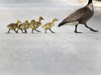 Young goslings try to keep up with their mother as they cross a street in Terracon Business park near Dugald Road.