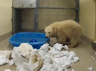 Kaska, an eleven-month-old female polar bear cub, was orphaned after her mother was shot and killed in Churchill on Nov. 1.