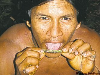 Waorani tribe member showing us how to eat the lemon ants. The ants live in the branches of an Amazonia tree.