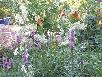 A xeriscape needs to be properly planned. Liatris and daylilies, shown in the foreground, are drought tolerant whereas the hydrangea standard in the background has high water needs. Below, succulents have a unique ability to retain water and provide vivid colour and texture in the garden.