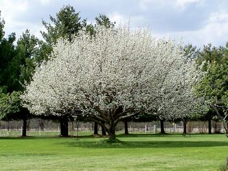 The pear is the largest of all the prairie fruit trees and makes an excellent small to mid-sized shade tree.