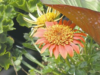 Sunbathers Sunset Gazania. The large orange semi-double blossoms stay open at night. Bright orange continues to be a favourite colour for 2013.