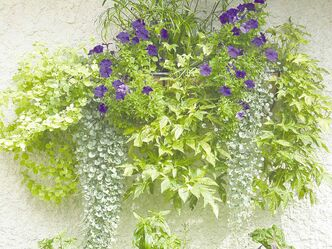 Think about the effect you might want to create with your window box planting. Karen Loewen chose mostly foliage plants for the window box in her Steinbach garden  — Baby Tut Papyrus, Dichondra Silver Falls, variegated Ipomea — and then added a rich, dark purple petunia which lends just enough colour for impact against the white stucco wall of her home's exterior.