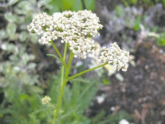 Common yarrow has been valued for centuries as a herbal remedy, lauded for its natural anti-inflammatory and astringent properties.
