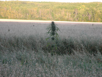 A farmer near Riding Mountain National Park recently noticed dozens of plants growing amid his oat crop.