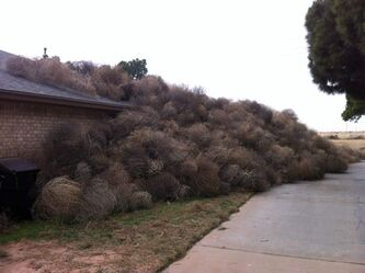 Hundreds of tumbleweeds blown by blizzard winds are piled up against Josh Pitman's Midland, Texas home. Pitman says he recently tore down a fence that would have protected his home from the rambling weeds. In his words,