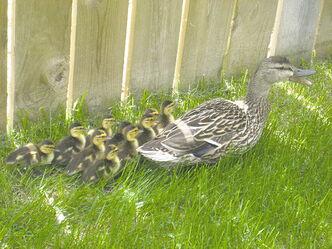 Mallards have been nesting each spring and summer at Dakota House in St. Vital. This year residents were pleased to see 10 little ducklings.