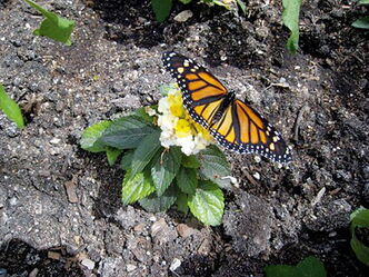 Monarch butterflies can be seen in all their splendor at the butterfly house at Assiniboine Park Zoo.