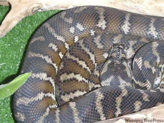 A carpet python seized from an apartment building on Assiniboine Avenue.