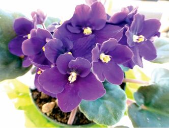 African Violets have been hybridized to include a variety of colours in both single and double forms.