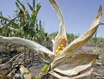 Drought-damaged corn is seen in a field near Nickerson, Neb. Twitter during the crop tour has made traders take notice.