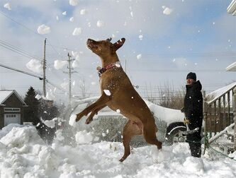 Harley, a Vizsla, displays his athleticism as his owners Darrin and Lorie Campbell clear their driveway in Dartmouth, N.S. on Sunday, Feb. 10, 2013. A major winter storm swept through Atlantic Canada on the weekend causing power outages, disrupting travel and forcing event cancellations. THE CANADIAN PRESS/Andrew Vaughan