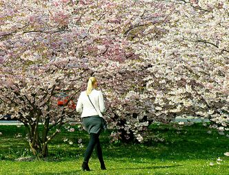 A woman walks between blooming almond trees in Erfurt, Sunday, March 30, 2014. Weather forecasts predict good weather conditions with mild temperatures for the upcoming days in Germany. (AP Photo/Jens Meyer)