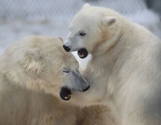 Polar bears at the Assiniboine Park Zoo play fight in this file photo.
