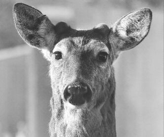 So far this year, the city has received 787 calls about dead deer on roadways. That's up from 736 in 2012 and 570 in 2011.