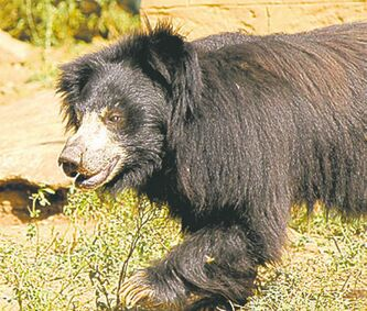 Reddy was haunted by the treatment of black bears in Bangalore.