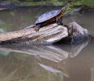 A painted turtle soaks up some sunshine on the Seine River in St. Boniface summer.