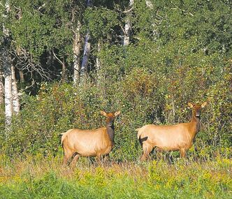 Because of various factors, the population of elk in Riding Mountain National Park has varied from 1,500 to 12,000.