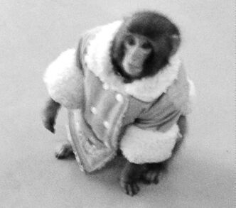 CORRECTS BYLINE - A small monkey wearing a winter coat and a diaper apparently looks for it's owners at an IKEA in Toronto on Sunday Dec. 9, 2012. The monkey let itself out of its crate in a parked and went for a walk.  The animal's owner contacted police later in the day and was reunited with their pet, police said. THE CANADIAN PRESS/HO, Bronwyn Page