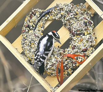 A Downey Woodpecker feeds at a bird feeder in Hawrelak Park in Edmonton.