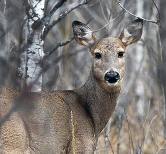 Most deer collisions are in eastern part of province.