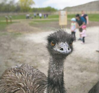 An emu at the zoo peers at visitors.