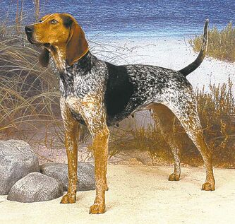 American English coonhound.