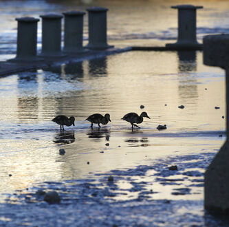 Mallard ducklings walk along the Assiniboine Riverwalk at The Forks this morning as river levels continue to decline.
